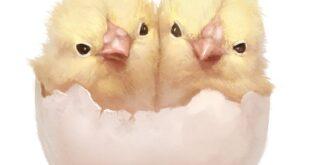 Цыпленок, двуглавый орел и помидоры. #ЧЧ Осень, день 36