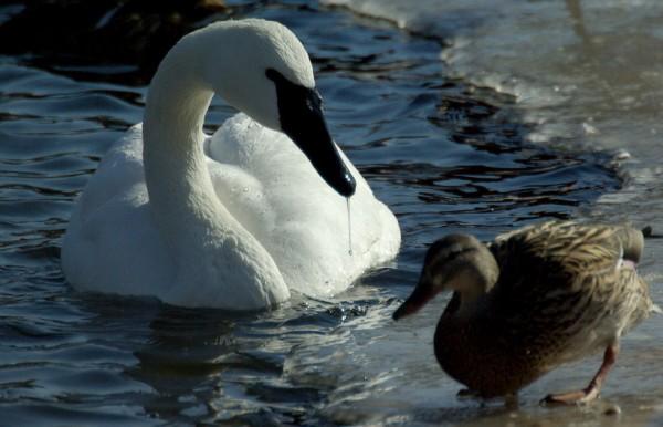 Лебедь и маленькая серенькая уточка